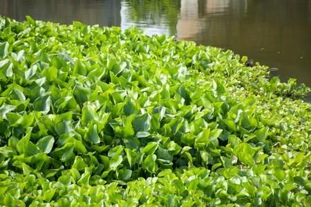 自然観察園で新鮮なグリーン ウォーター ヒヤシンス植物 写真素材