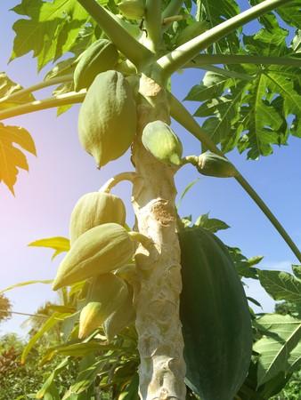 green papaya tree in fruit garden at country farm