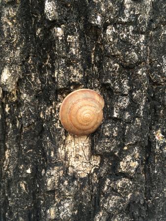 Molluska shell on bark tree