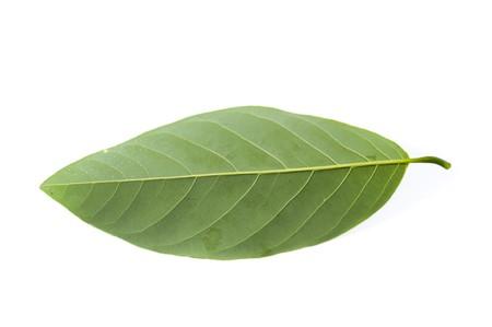 fresh green Annona squamosa leaf on white background