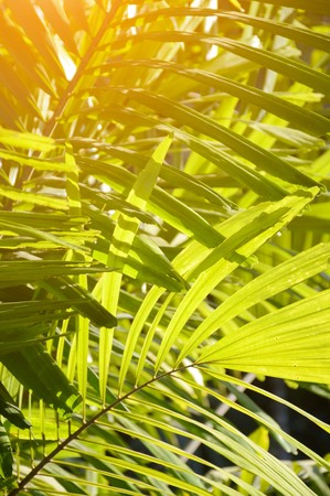 areca catechu leaf in nature garden Stock Photo