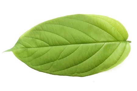 fresh green combretum indicum leaves on white background