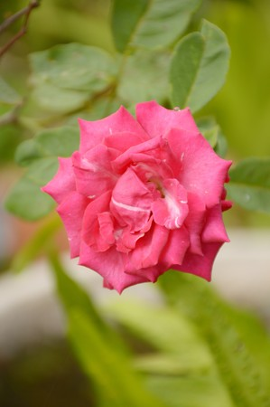 pink damask rose flower in nature garden Stock Photo
