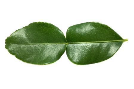 leech: fresh green Kaffir lime leaves on white background