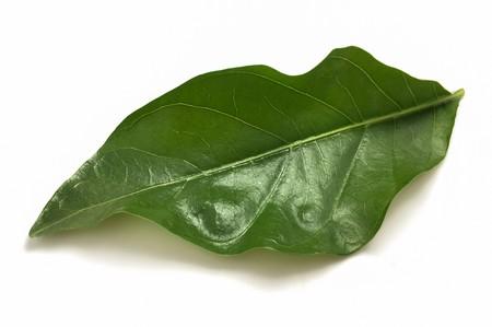 fresh green morinda citrifolia leaves on white background