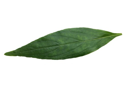 Andrographis paniculata leaves on white background