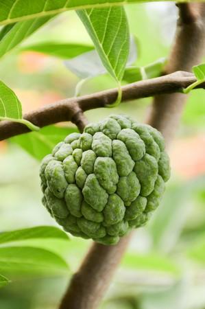 Annona squamosa fruit in nature garden