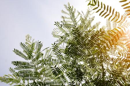 Leucaena leucocephala plant in nature garden Stock Photo