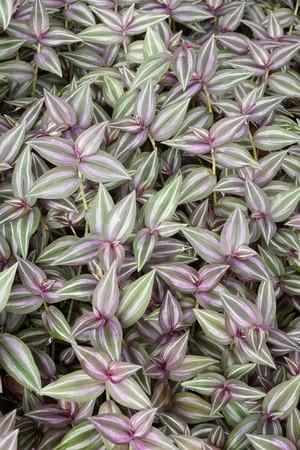 Tradescantia zebrina plant in nature garden Фото со стока