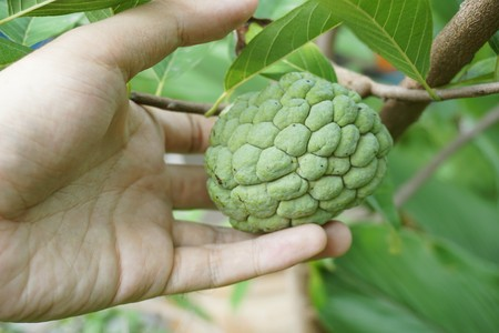 close up man hand touch Annona squamosa fruit in nature garden