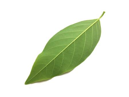 fresh green Annona squamosa leaves on white background