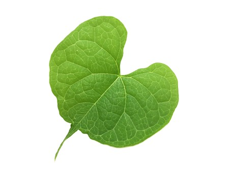 fresh green ivy leaves on white background
