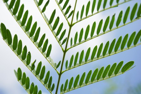 fresh green leucaena glauca leaves in nature garden Stock Photo