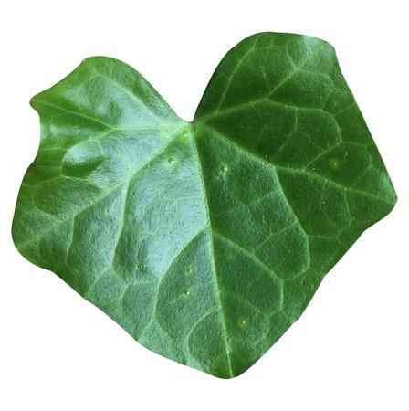 fresh green Coccinia grandis leaf on white background Stock Photo
