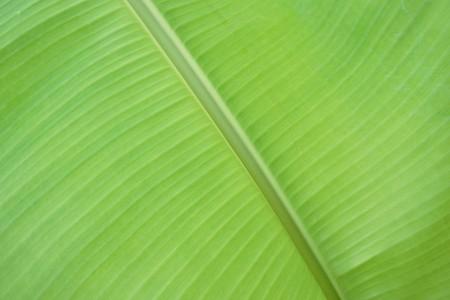 fresh green banana leaves texture Stock Photo
