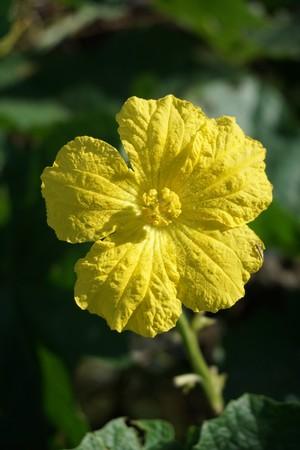 luffa cylindrica flower in nature garden Stock Photo