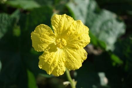close up yellow Luffa cylindrica flower in nature garden Stock Photo