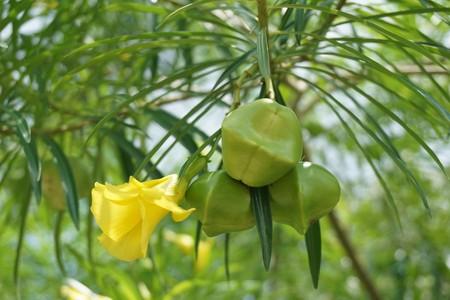 fresh Thevetia peruviana fruit in nature garden