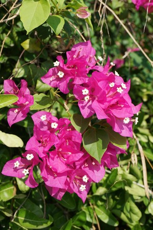 pink Bougainvillea flower in nature garden Stock Photo