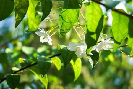 close up white Wrightia religiosa flower in nature garden Stock Photo