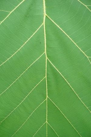 Hoja de teca verde fresca en el jardín de la naturaleza Foto de archivo - 90072360