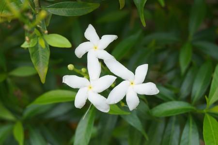 white Gardenia jasminoides flower in nature garden Stock Photo