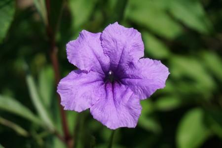 Ruellia tuberosa flower in nature garden Stock Photo