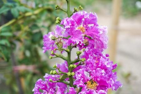Lagerstroemia speciosa flower in nature garden