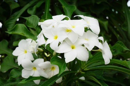 white plumeria flower in nature garden Stock Photo