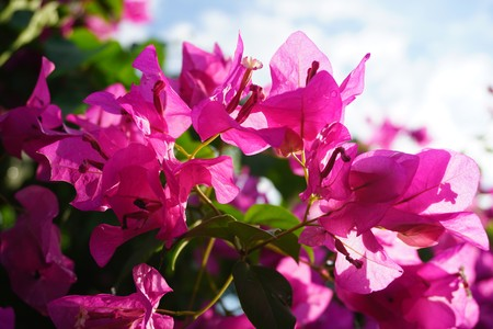 pink Bougainvillea flower in nature garden Stock fotó