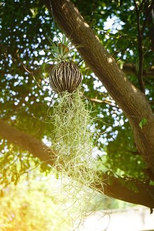 Tillansia usenoides plant in nature garden Stock Photo