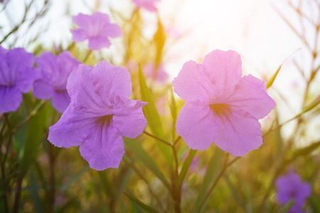ruellia tuberosa flower in nature garden