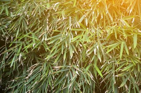 fresh green bamboo leaves in nature garden Stock fotó