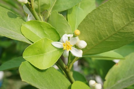 close up lime flower in nature garden