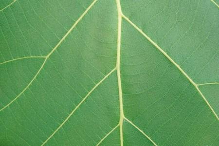 fresh green Teak leaf in nature garden