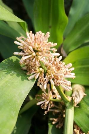 Dracaena fragrans flower in nature garden