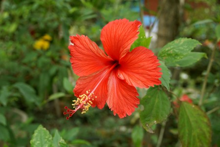 red Hibiscus syriacus flower in nature garden Stock Photo