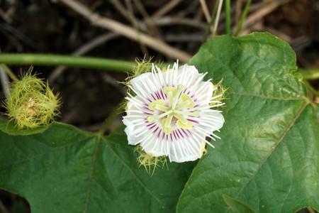 White Passiflora foetida flower in nature garden Stock Photo