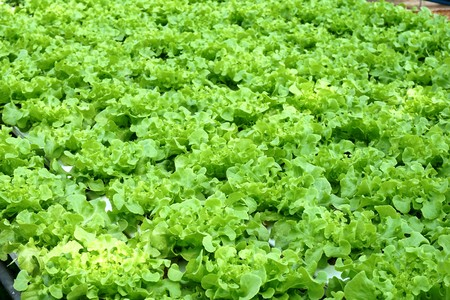 close up organic hydroponic vegetable in country farm at Thailand Stock Photo