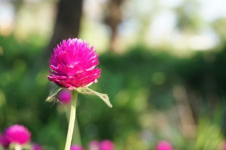 pink globe amaranth flower in nature garden