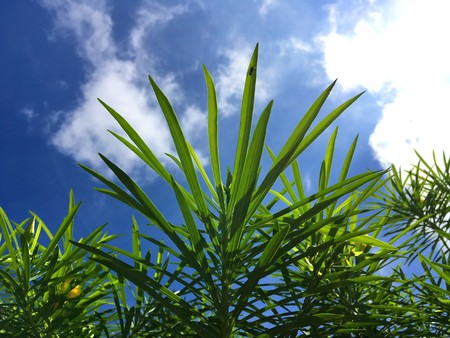 fresh green Cascabela thevetia leaf in nature garden