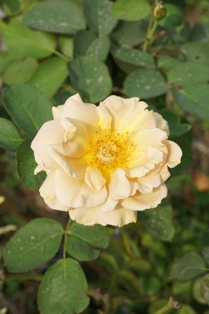 close up yellow damask rose flower in nature garden