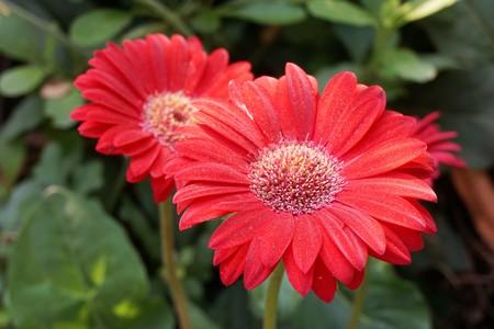 red gerbera jamesonii flower in nature garden