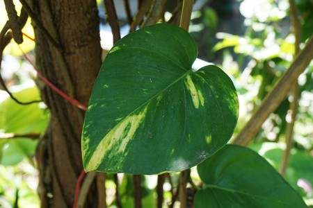 fresh green epipremnum aureum leaves in nature garden