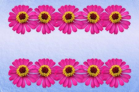 zinnia flower on blue background