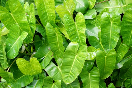 green Philodendron leaves in nature garden Reklamní fotografie