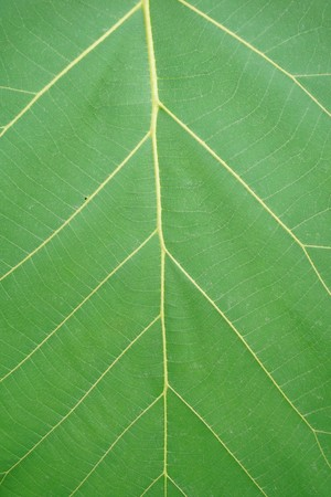 fresh green Teak leaf texture Stock Photo