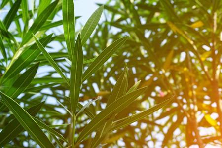 Nerium oleander leaf in nature garden Stock Photo