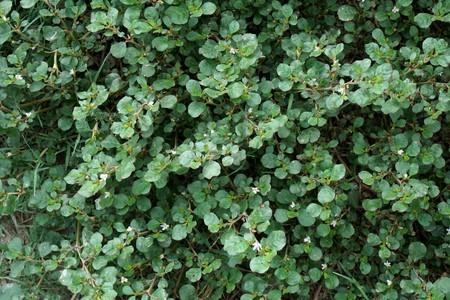Trianthema portulacastrum plants in nature garden