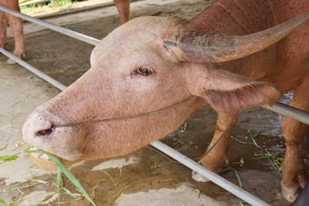 albino buffalo in country farm